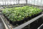 Compost e biochar utilizzati in serra: impiego in miscela al substrato su colture orticole allevate in contenitore